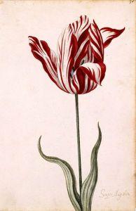 Ανώνυμη υδατογραφία της τουλίπας Semper Augustus