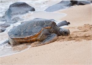 Honu - Γιγάντιες πράσινες χελώνες